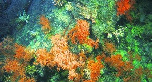 ColdWaterCoral_large