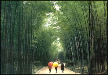 Bambbo tree 1 20080318-BAMBOO2